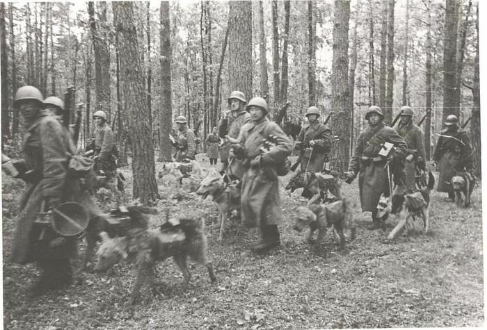 Cuộc chiến tranh nào có hơn 500.000 chú chó vào trận?