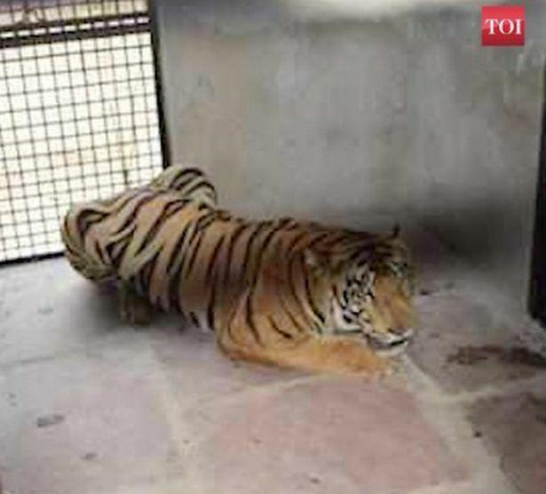 """Ấn Độ """"xử"""" con hổ nặng gần 2 tạ, từng ăn thịt 3 người"""