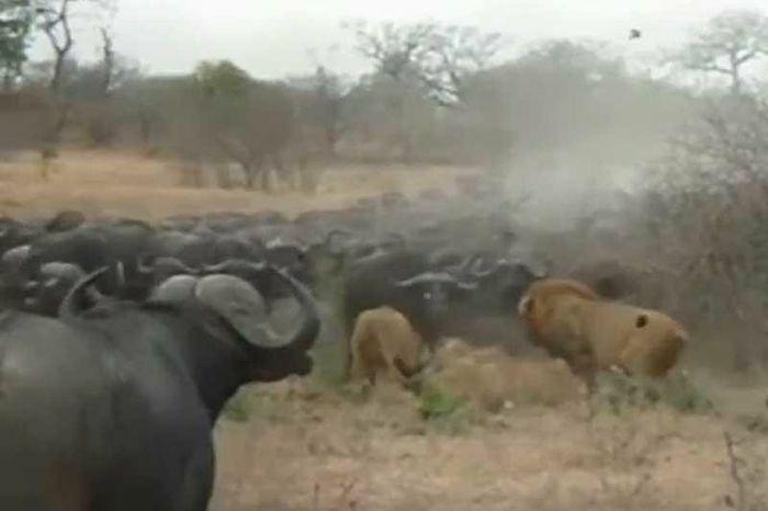 """Đàn trâu rừng kéo nhau đi """"trả thù"""" sau khi chứng kiến nghé con bị sư tử ăn thịt"""