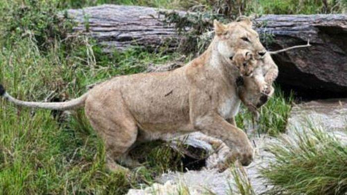 Sư tử mẹ kẹp chặt gáy con vượt qua nước xiết