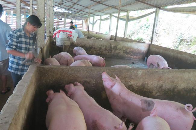 Giá lợn hơi đồng loạt giảm ở nhiều tỉnh, thành
