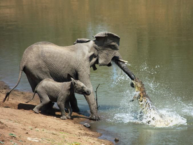 Đến mép hồ nước thì đột ngột bị cá sấu cắn vào vòi, voi mẹ bị cố bỏ chạy, nhờ hành động ngây thơ của voi con đã cứu mạng 2 mẹ con