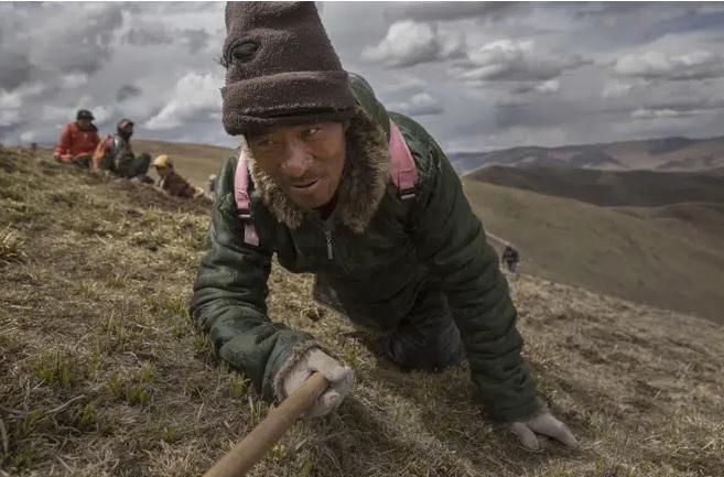 """Đông trùng hạ thảo thật đã """"trốn"""" lên cao thêm 500m, ngay tại Tây Tạng: Sự thật đáng buồn!"""