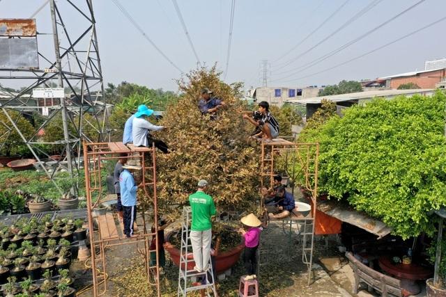 Hơn chục người bắc giàn giáo nhặt lá cho cây mai cổ thụ 100 tuổi