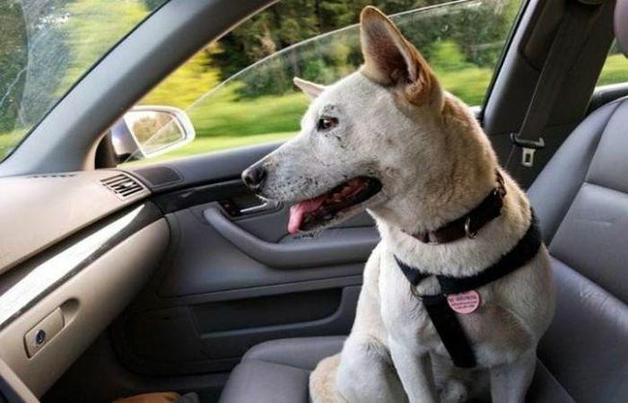 Vì sao đừng cho động vật ngồi ghế phụ ô tô?