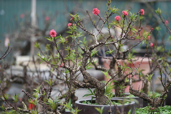 """Về Nhật Tân xem hoa đào """"thất thốn"""""""