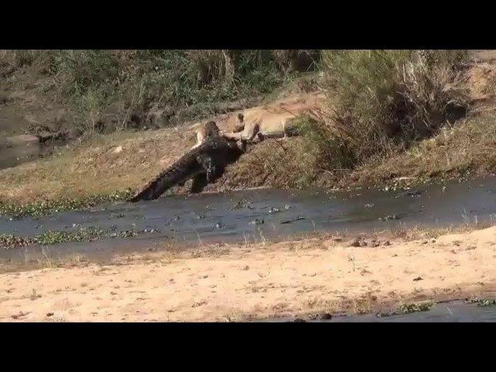 Đói quá hóa liều, sư tử một mình lao vào cướp con mồi của con cá sấu chúa