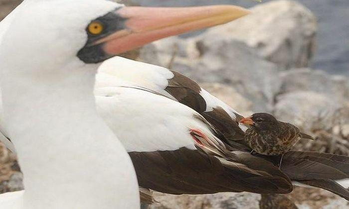 1001 thắc mắc: Loài chim sẻ nào chuyên uống máu?
