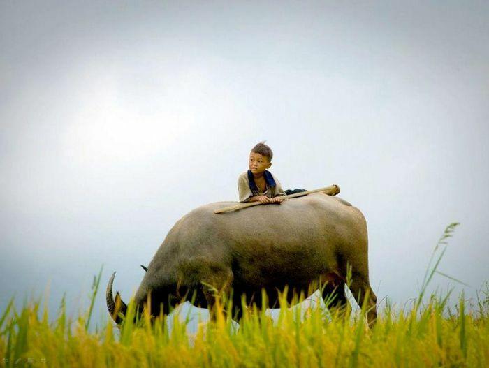 Hình ảnh con Trâu trong ngôn ngữ tục ngữ, ca dao Việt Nam