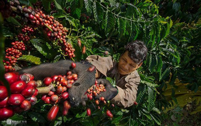 """Giá cà phê bứt phá, lượng giao dịch cao """"hiếm thấy"""", thị trường hạt tiêu dự báo sôi động"""