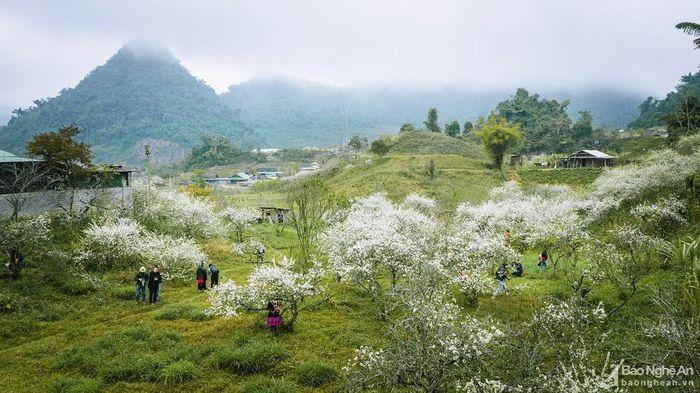 Hoa mận nở trắng trời ở miền Tây Nghệ An
