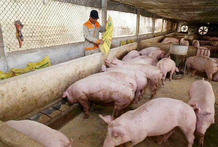 Giá lợn hơi hôm nay 24/2/2021: Biến động 1.000 – 2.000 đồng/kg