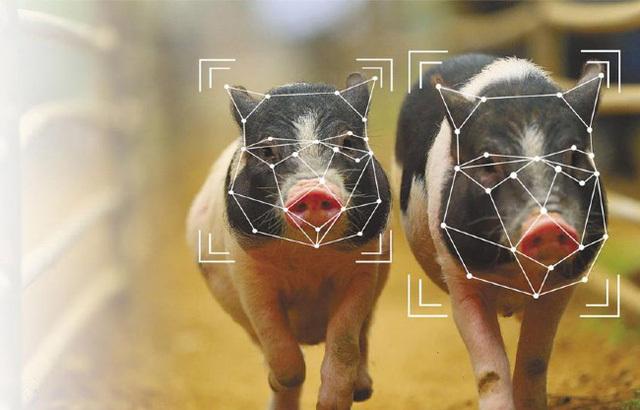 Bị kìm kẹp quá đáng, tập đoàn công nghệ hàng đầu thế giới chuyển sang…. chăn lợn