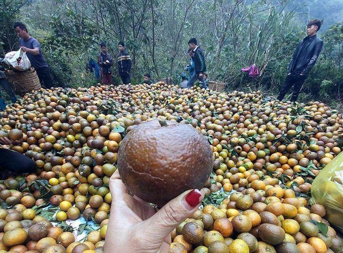 Cam sành Hà Giang siêu rẻ: 6 nghìn đồng/kg, mua cả yến vắt uống cả lít