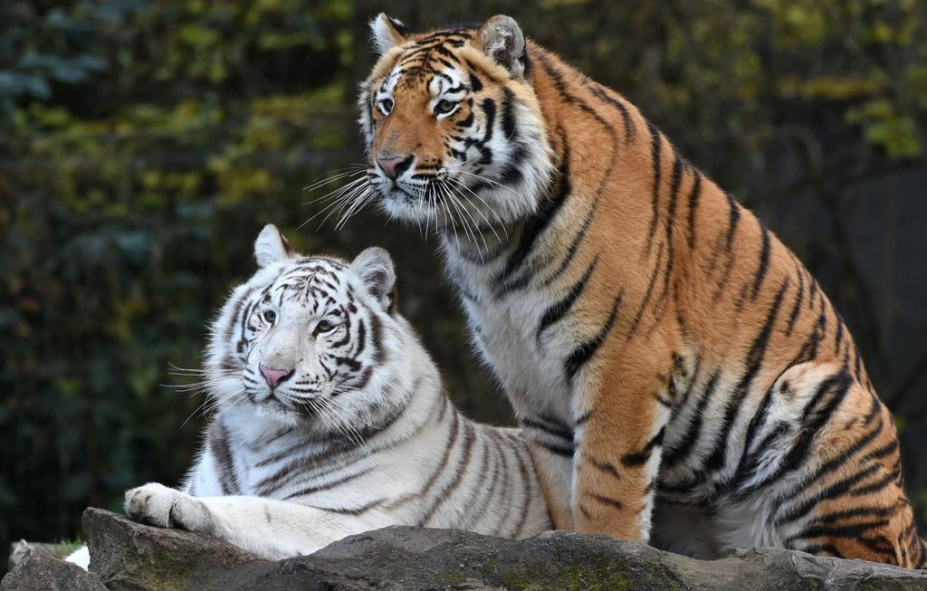 Bắt được hổ trốn khỏi vườn thú ở Indonesia