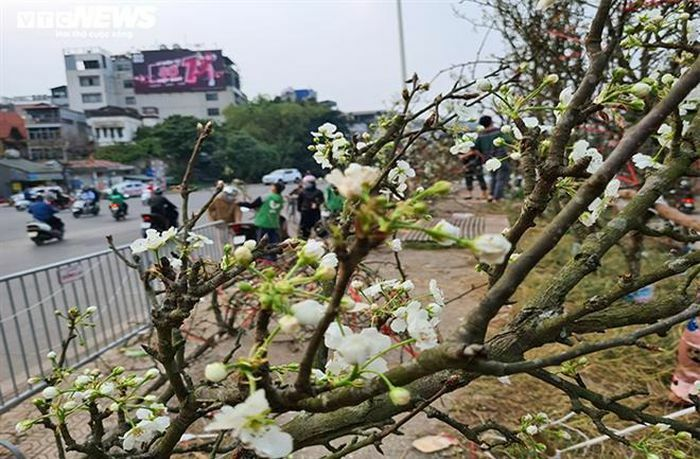 Đào, quất tàn sau Tết, đến lượt lê rừng tiền triệu hút khách Hà Nội