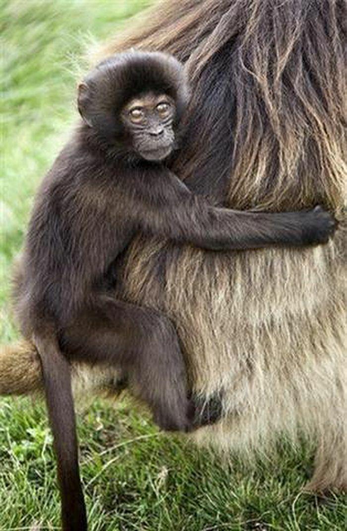 """Ngắm loài khỉ biết """"nói tiếng người"""""""