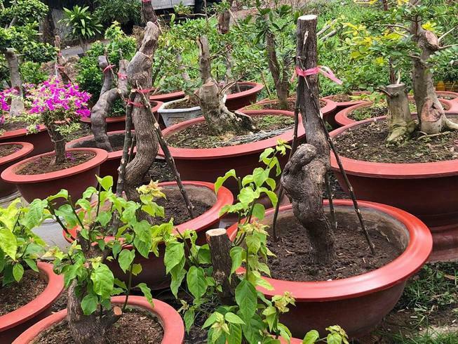 Bắt đối tượng cưa trộm hàng loạt cây hoa giấy ở Vũng Tàu
