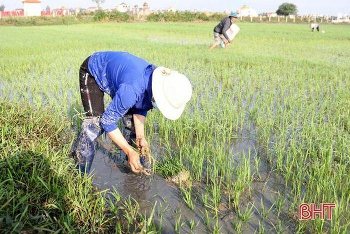 Gần 100 ha lúa bị ốc bươu vàng tấn công, nông dân TX Kỳ Anh chật vật dắm lúa mới