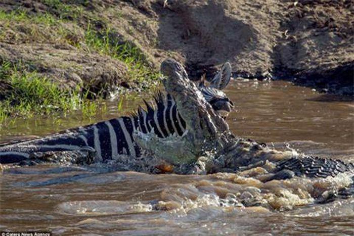 Ngựa vằn bị đớp nát chân vẫn thoát hàm cá sấu