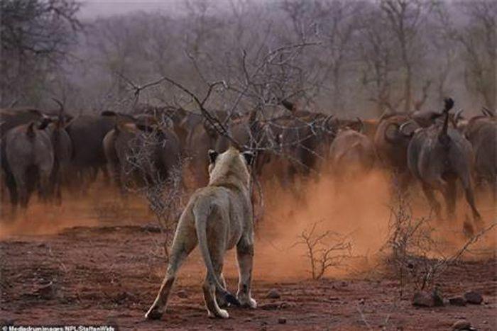 """Đôi sư tử non háu thắng bị đàn trâu rừng """"dạy dỗ"""""""