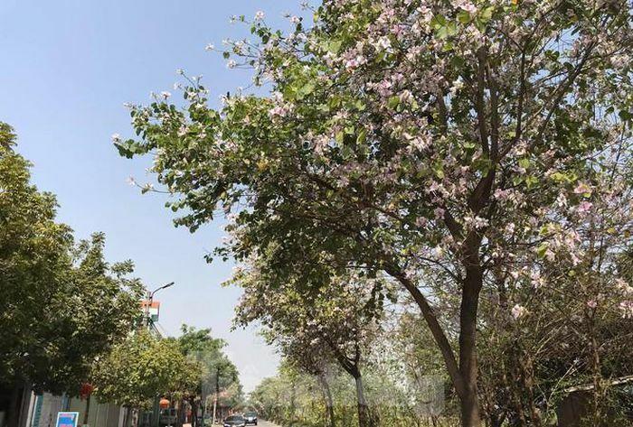 Đường hoa ban trắng đẹp mê mẩn ở ngoại thành Hà Nội