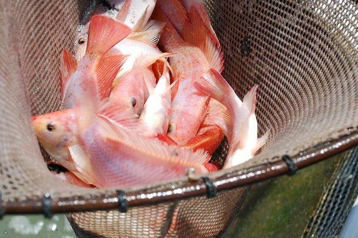 Nuôi cá điêu hồng - ảnh 1