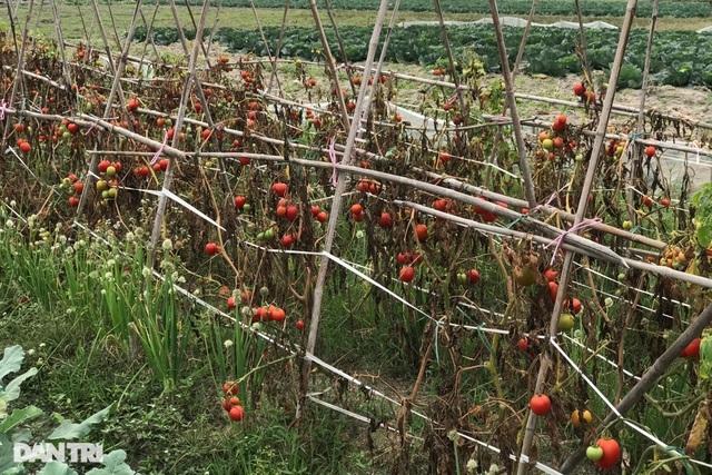 Rau củ thối rữa vứt đầy ruộng, nông dân Chí Linh nợ cả tỷ đồng tiền vay vốn