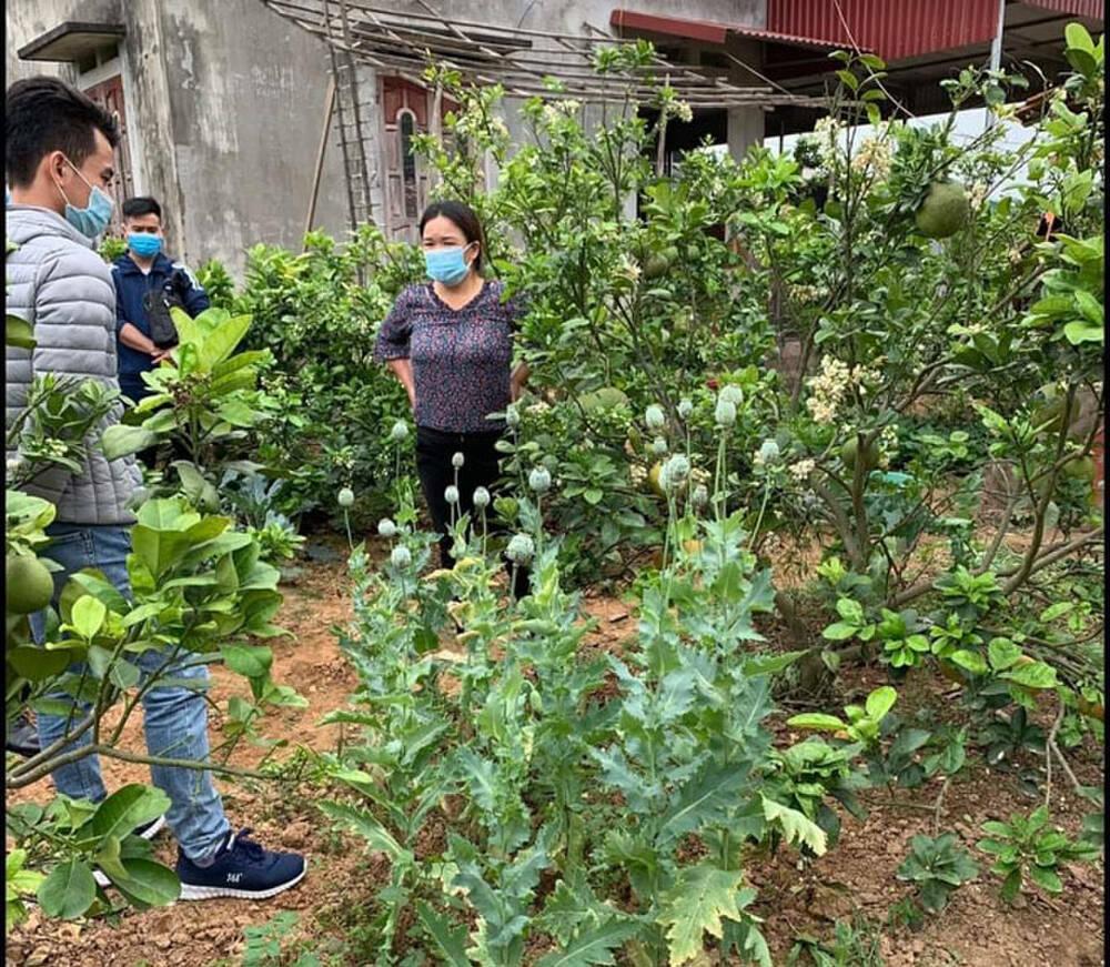 Trồng cây thuốc phiện trong vườn nhà để làm… rau ăn và nuôi lợn