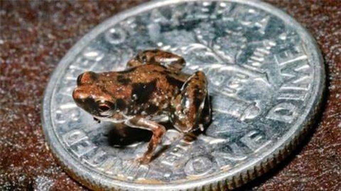 Loài ếch bé bằng con ruồi khiến các nhà khoa học kinh ngạc
