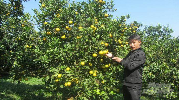 Vườn cam VietGAP tiền tỷ cho thu hoạch quanh năm