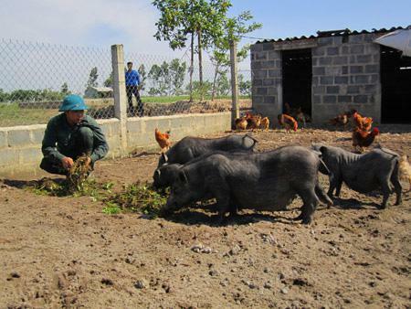 """Thái Bình: Biến ruộng trũng thành trang trại nuôi """"lung tung"""", có cả thứ lợn Mường lạ mắt, nông dân này giàu lên"""