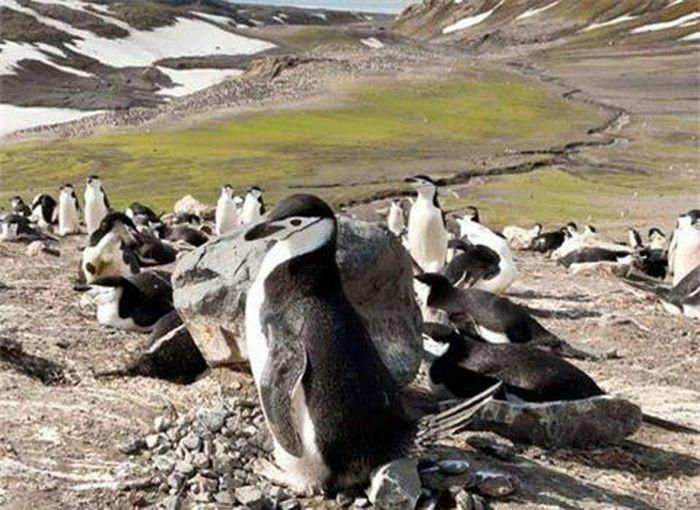 """Chim cánh cụt ngại """"yêu"""" vì quá nóng?"""