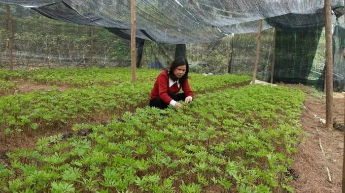 Sản xuất 10.000 cây giống tam thất bắc