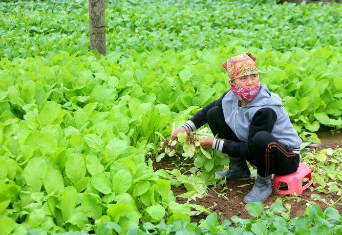 Nhà hàng, trường học đóng cửa, nông dân Hà Nội cũng bỏ rau