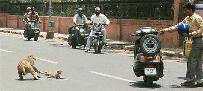 Cảm động trước cảnh khỉ mẹ liều mình cứu con