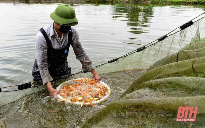 Thu hoạch cá chép đỏ phục vụ Tết ông Công ông Táo