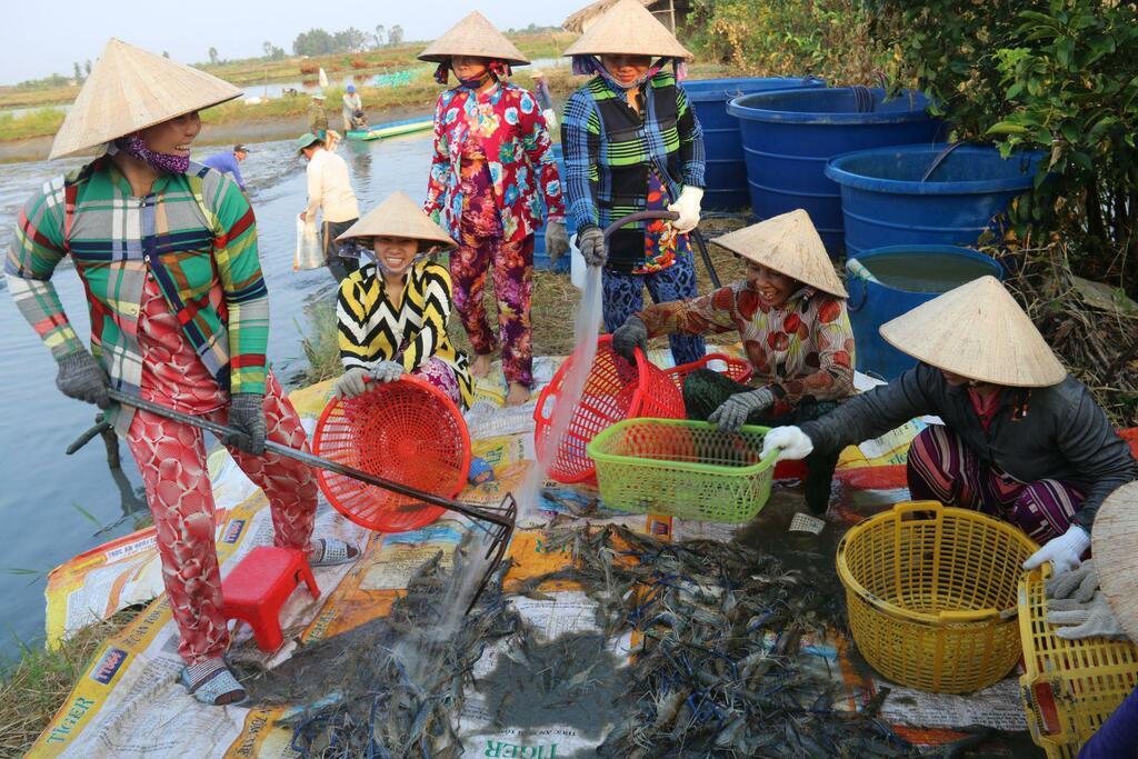 Bạc Liêu: Đầu xuân năm mới, nông dân bắt tôm càng xanh, cứ 1ha bắt được 1 tấn, bán 140.000 đồng/ký