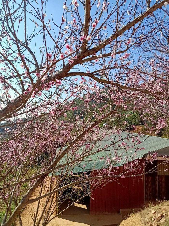 """Hé lộ sự thật về """"đào rừng"""" – cây tự nhiên siêu hiếm, toàn hàng nhà trồng trên đồi"""