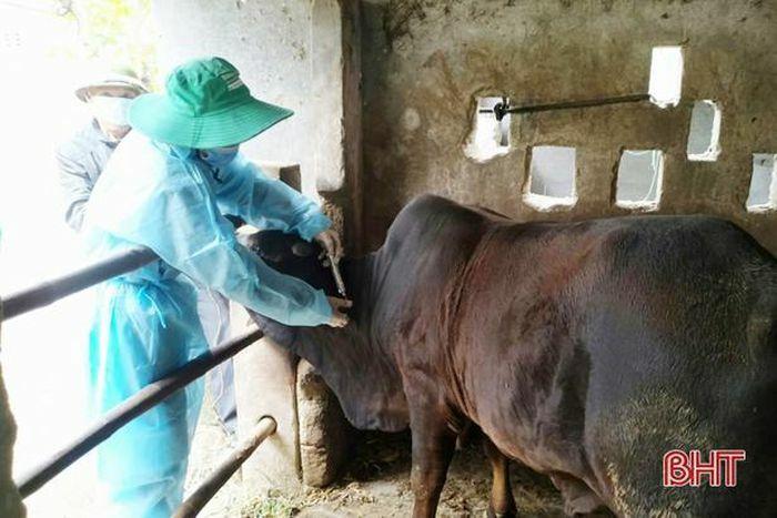 Thêm 2 xã ở Lộc Hà phát sinh bệnh viêm da nổi cục