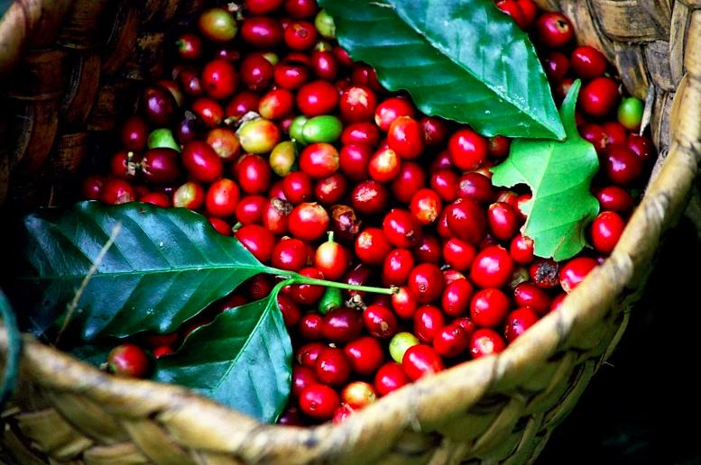 Giá cà phê hôm nay 4/3: Tiếp đà giảm theo thị trường thế giới