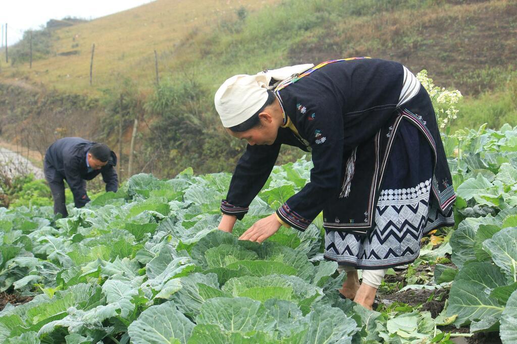 Tuyên Quang: Đem cải bắp, su hào trồng trên đỉnh núi, tưởng khó nhằn hóa ra thu nhập gấp 3 lần ngô lúa