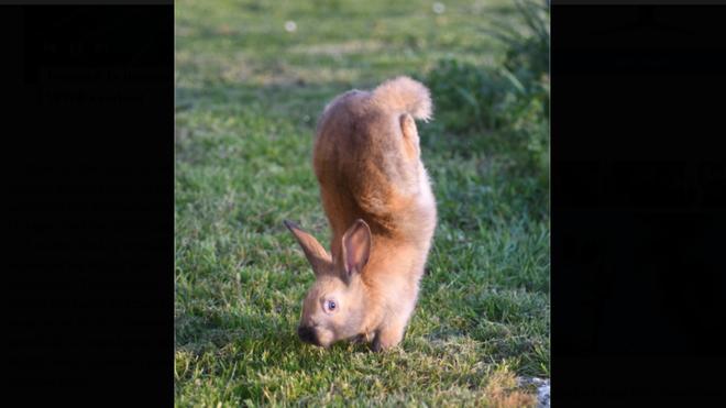 Giải mã bí ẩn của loài thỏ biến dị chỉ biết 'trồng chuối'