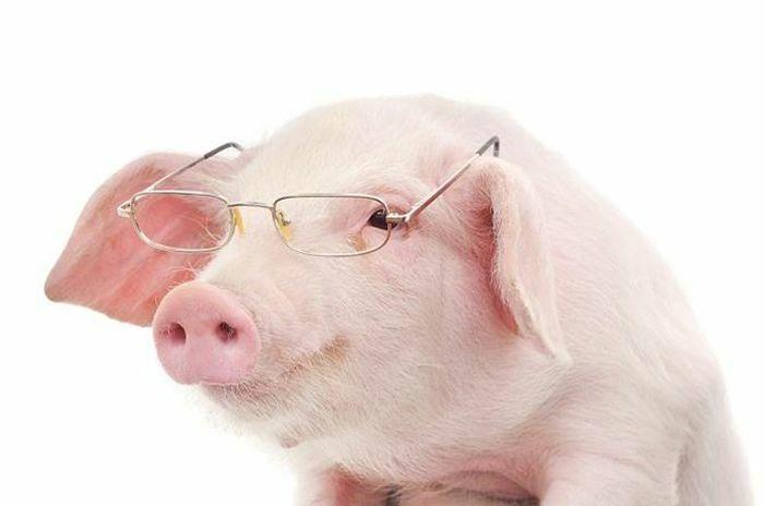 """Loài lợn không hề """"tối dạ"""" như nhiều người vẫn lầm tưởng"""