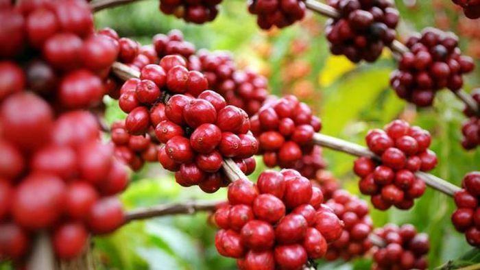 Giá cà phê hôm nay 3/3: Tiếp tục đà giảm