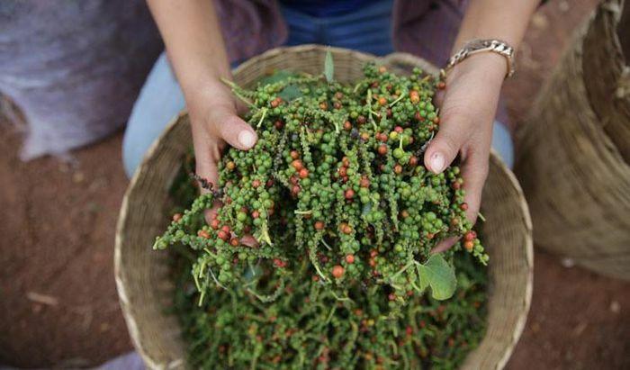 """Giá xuất khẩu hạt tiêu tăng, Campuchia """"sốt sắng"""" tìm cách tăng sản lượng"""