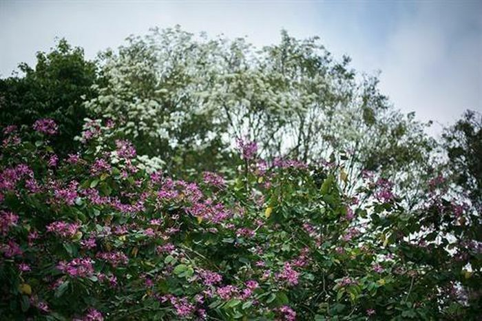 """Hóa """"nàng thơ"""" bên hoa ban, hoa sưa khoe sắc giữa phố thị"""