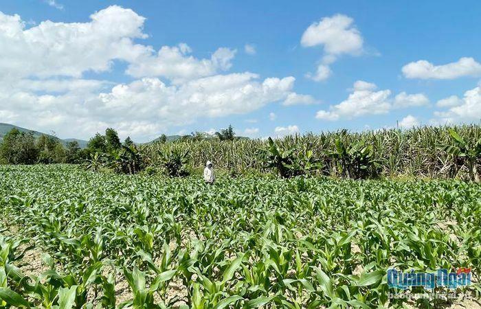 Chuyển đổi cây trồng trên đất trồng mía