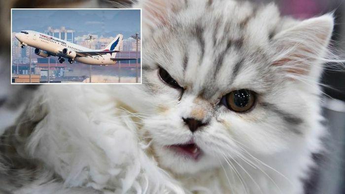 """Máy bay hạ cánh khẩn cấp vì bị """"khủng bố"""" bởi…mèo"""