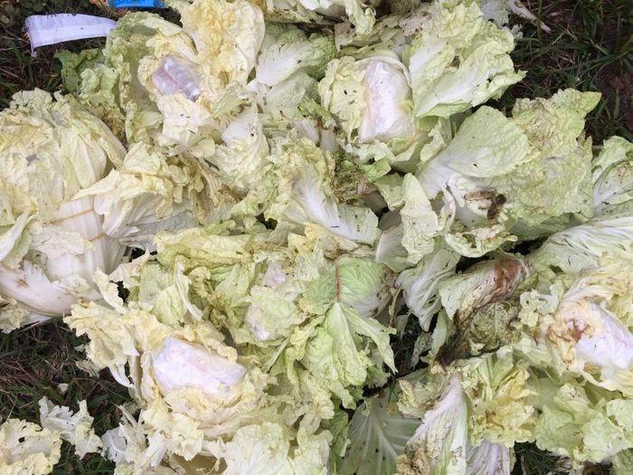 16.000 viên ma túy giấu trong rau cải thảo vứt bên vệ đường